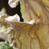 Dehydrated Cabbage Crisps